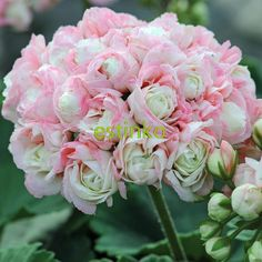 10pcs Rare Geranium Seeds Appleblossom Rosebud Pelargonium Perennial Flower Seeds Hardy Plant Bonsai Potted Plant Free Shipping