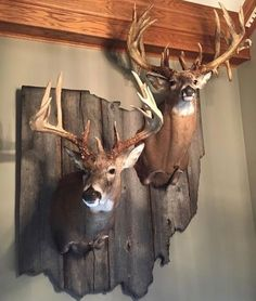 This is the Alliance, Ohio record buck my boyfriend watched for several years. The antlers on the left are the sheds he found two years ago. The hunter who took down this giant traded a replica mount of the giant for the sheds. One day the whole story of this giant will be told. Rest in peace Hogan. alliances