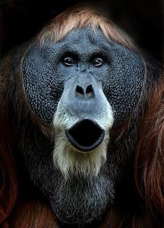 50-year-old Charly the Orangutan by Volker Gutgessell