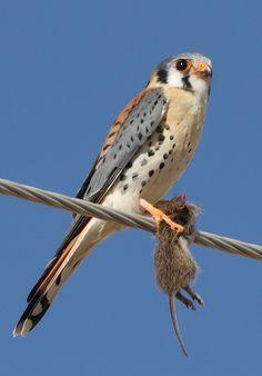 El cernícalo americano, halconcito colorado o cuyaya (Falco sparverius) Se alimentan de insectos, otros invertebrados y diversos vertebrados de pequeño tamaño: roedores y reptiles, fundamentalmente. Cuando encuentran un territorio con caza abundante, se vuelven sedentarios.