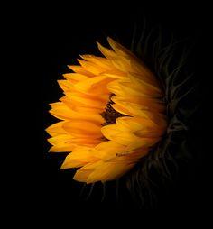 Sunflower on Black by David Guyler