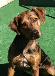 Cat is an adoptable Catahoula Leopard Dog Dog in Santa Maria, CA. Cat is absolutely beautiful, inside and out! This sweet 6-8 month old pup is very outgoing... she is smart and learns new things easil...