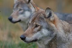 Major discovery: Wolves help trees grow, rivers flow, countless species flourish (video) : TreeHugger