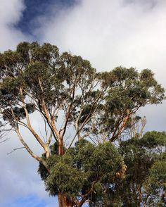 #australia #apollobay #aussienature #trees #greatoceanroad by georgina_angless http://ift.tt/1LQi8GE