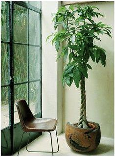 Indoor Tree Plants, Hanging Plants Outdoor, Tall Plants, Outdoor Planters, Indoor Garden, Trees To Plant, Calathea, Pachira Aquatica, Decoration Plante