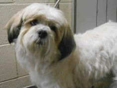 WINSTON - Courtesy is an adoptable Lhasa Apso Dog in Los Angeles, CA. Meet Winston the Lhasa! His owners surrendered him to the shelter because they had allergies.  He is a great little boy – very low...