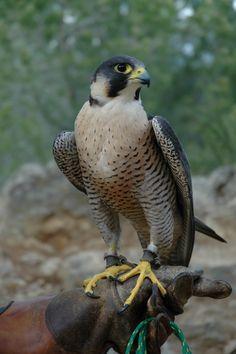 Falco peregrinus/ Falcó pelegrí/ Halcón peregrino/ Peregrine falcon// Al Cim d'Àligues. Sant Feliu de Codines (Barcelona) Spain.