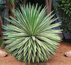 Agave angustifolia variegated @ exotic succulent rare cactus seed plant 15 SEEDS in Plants   eBay