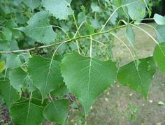 Cottonwood tree leaves - native to the west - grow along rivers - yellow in the fall