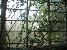 Beautifully espaliered quince by andrea_hall, via Flickr