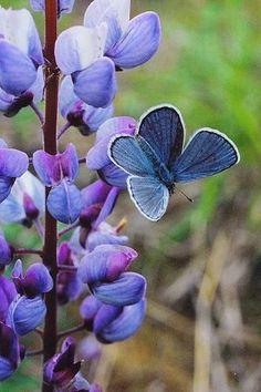 I ❤ butterflies . . . Karner blue butterfly on wild blue lupine New York, Wilton Wildlife ...