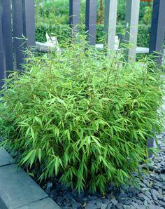 Niet woekerende bamboe Sfeerfoto 1