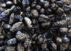 #mussels #rock original photograph © David Millenheft