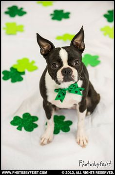 A single St. Pattie's Boston Terrier dog. Love this photo? Re-pin it!