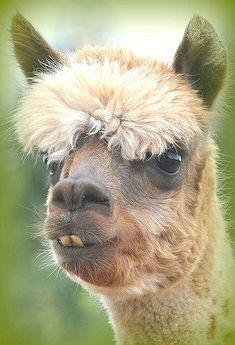 Alpacas - so cute - very rewarding - and NO - you do not eat them :) So you can give each little darling a name!!!!