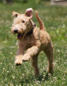"""Lakeland Terrier  """"True happiness is to enjoy the present, without anxious dependence upon the future, not to amuse ourselves with either hopes or fears but to rest satisfied with what we have, which is sufficient, for he that is so wants nothing."""" -Seneca"""