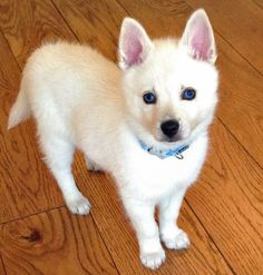 Alaskan Husky Alaskan Klee Kai- I want one so bad Cute Puppies, Cute Dogs, Dogs And Puppies, Doggies, Alaskan Klee Kai Puppy, Alaskan Husky, Miniature Husky, Baby Animals, Cute Animals