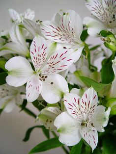 """White alstroemeria with red """"baseball stitching""""!  I know someone who would have loved this!"""