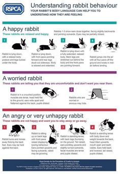 Understanding rabbit behaviour - Use this guide to help you recognise important body language signals Meat Rabbits, Raising Rabbits, Caring For Rabbits, Rabbit Facts, All About Rabbits, Rabbit Behavior, Rabbit Information, Bunny Cages, Angora Rabbit