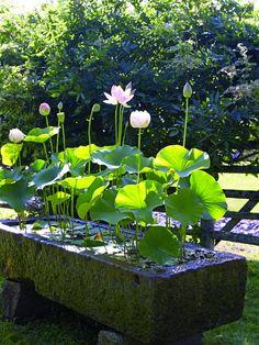 Mini jardin aquatique avec nénuphars - une excellente idée pour embellir naturellement le jardin