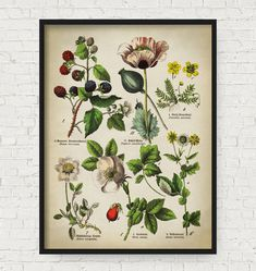 HERBOLOGY: Botanical poster medicinal plants and flowers by ElementaryPrints for $16.00. Features Rubus fruticosus (blackberry), Papaver somniferum (opium poppy), Argentina anserina (common silverweed), Dryas octopetala (mountain avens/white dryas/white dryad), Rosa canina (dog-rose), and Geum urbanum (wood avens/colewort/St. Benedict's herb).
