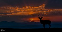 Kudu Sunset silhouette. Eastern Cape, South Africa