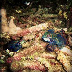 Mandarin fish about to coupling #scuba #underwater #lolo @Lolo Sianipar