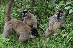 Beautiful Lemurs