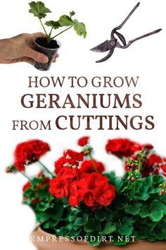 Propagating Geraniums, Growing Geraniums, Geraniums Garden, Red Geraniums, Plant Cuttings, Growing Plants, Garden Plants, House Plants, Indoor Plants