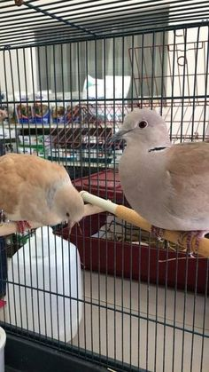 Ringneck Doves is available for adoption on AllPaws.com. View and share Ringneck Doves' profile and help him find a home!