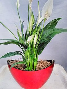 peace lily plant care guide how to grow a peace lily - Peace Plant Care