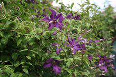 clematis Polish Spirit growing through Philadelphus #plants #gardening #clematis #flowers #organic