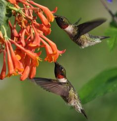 Humming birds-------MAMA WOULD PLANT FLOWERS THAT WOULD ATTRACT THE HUMMING BIRDS.