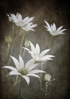 Positive Outcome Flannel Flower Essence gentleness and sensitivity in touching trust openness expression of feelings joy in physical activity