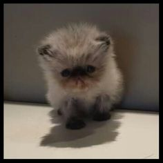 Fluffykins Minnie Mouse Persian Kittens, Cats And Kittens, Kitten Breeds, Himalayan Cat, Cattery, Minnie Mouse, Pets, Animals, Animales