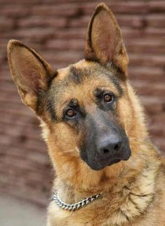 All the things we all enjoy about the brave German Shepherd Dog - Hunde - Dogs German Shepherd Facts, German Shepherd Training, German Shepherd Puppies, German Shepherds, Beautiful Dogs, Animals Beautiful, Cute Animals, Aussie Puppies, Dogs And Puppies