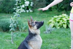 German shepherd, the best known police dog all over the world, is a noble and one of the most dependable dog breeds. With proper training techniques, this dog can be taught to do wonders.