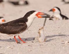 Fotografia di Jim Gray    Questo pulcino di becco a cesoie americano su una spiaggia della Florida era talmente affamato che si rifiutava di mollare il suo pasto. L'adulto era preoccupato dalla presenza dei gabbiano, che notiramente rubano le prede ai piccoli. Alla fine il pulcino ha avuto la meglio; si è divorato il pesciolino e si è addormentato.