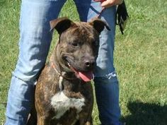 PLEASE SHARE RESCUE FOSTER AFOPT Millie is an adoptable Pit Bull Terrier Dog in Owensboro, KY. DO YOU RECOGNIZE THIS DOG? She was picked up on 9/9 as a stray on McIntire Crossing. Her stray time is up on 9/15 (today) and she is avail...