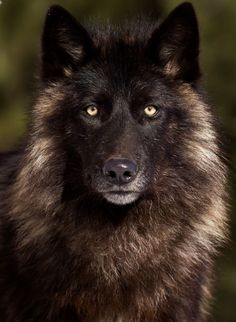Timber Wolf copyright Michelle Lalancette on Wolf Photos, Wolf Pictures, Animal Pictures, Wolf Spirit, Spirit Animal, Beautiful Wolves, Animals Beautiful, Tier Wolf, Regard Animal