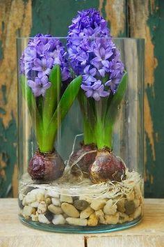 syflove:  hyacinths