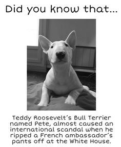 interesting #Bull #Terrier fact | www.fordogtrainers.com