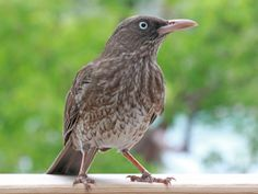 Pearly-eyed Thrasher (Margarops fuscatus) by Dick Daniels