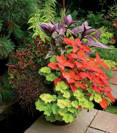 Strong fall colors: Persian shield, coleus Sedona, lime heuchera, alternanthera Red Threads, a red coleus