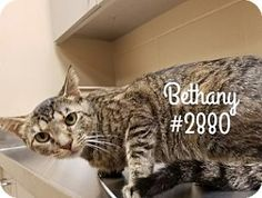 Beautiful Bethany --URGENT-Alvin Animal Adoption Center, ALVIN, TEXAS -- ADOPT OR FOSTER - Adult Female Domestic Shorthair Kitty.  Waiting for a loving home <3