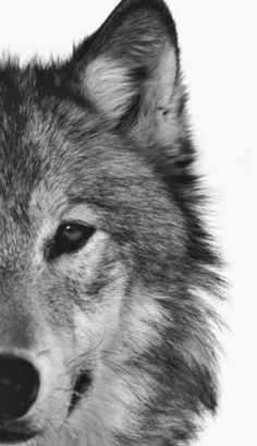 White Wolf: New Wolf Species Emerging in America Wolf Pictures, Animal Pictures, Beautiful Creatures, Animals Beautiful, Animals And Pets, Cute Animals, Wild Animals, Photo Animaliere, Beautiful Wolves
