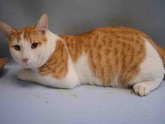 CARROT TOP - A1049603 - - Manhattan **TO BE DESTROYED 09/14/15** BEGINNER-rated CARROT TOP lived with 3 young kids, and had lived with his former family since he was brought in as a 2-month-old stray. Landlord difficulties are the reason given for why this big, mushy love has wound up on tonight's brutal euth list. Read these volunteer notes and then beat the bushes for a FOSTER or ADOPTER tonight. Carrot Top seems like a genuinely NICE CAT judging from his biograph