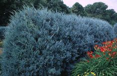 Easy-to-Grow Junipers Give You Evergreen Color - The striking silvery-blue color of the Wichita Blue Juniper adds a handsome contrast to your landscaping year-round. Even better... it is virtually maintenance-free. The Wichita Blue Juniper boasts the bluest color of the upright juniper varieties. It has dense, bushy foliage, which makes it a...