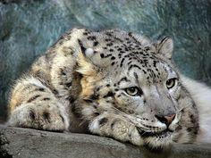 Milan Vorisek Snow Leopard  ZOO Ústí nad Labem, CZ