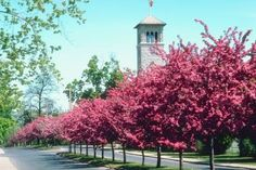 The Best Trees for Lining Driveways   Crab apples.